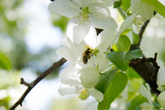 Bee on a flower of the white apple flowers. Blossoms royalty free stock photography