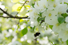 Bee on a flower of the white apple flowers. Blossoms stock photos