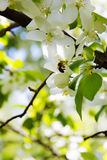 Bee on a flower of the white apple flowers. Blossoms royalty free stock photos