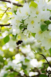 Bee on a flower of the white apple flowers. Blossoms royalty free stock images