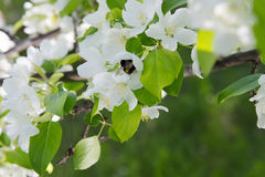 Bee on a flower of the white apple flowers. Blossoms stock image