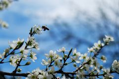 Bee on a flower of the white cherry blossoms. !! stock photo