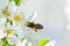 Bee on a flower Royalty Free Stock Photography