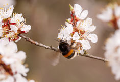Bee on a flower of the white cherry blossoms. In spring stock image