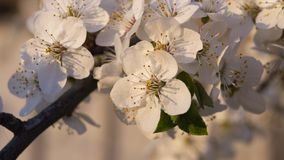 Bee on a flower of the white cherry blossoms. flowering tree, bee royalty free stock photo