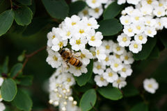 Bee on a flower of the white cherry blossoms. Stock Image