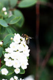Bee on a flower of the white cherry blossoms. Royalty Free Stock Photography