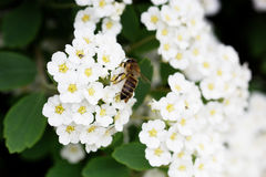 Bee on a flower of the white cherry blossoms. Royalty Free Stock Photos