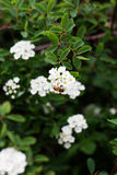 Bee on a flower of the white cherry blossoms. Royalty Free Stock Images