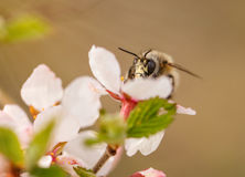 Bee on a flower of the white cherry blossoms. In spring stock photos
