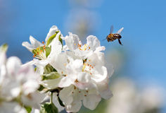 Bee on a flower of the white cherry blossoms. In spring royalty free stock photo