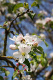 Bee on a flower of the white cherry blossoms. In spring stock photo