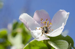 Bee on a flower. Bee on a white flower, collects pollen Royalty Free Stock Image
