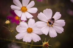 Bee the flower. White flowers and a bee Royalty Free Stock Photos