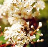 Bee on a flower. Stock Photos