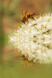 Bee on the flower. Bee on the white flower at the watter stock photography