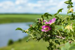 Bee on a flower of wild rose. Flowering dogrose on which sits a bee in the summer in the field by the river stock photos