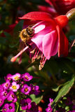 Bee on a flower. Bee is working all day for honey Stock Image