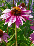 Bee on the flower. Working hard to get the honey Stock Images