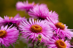 Bee on flower. Royalty Free Stock Images