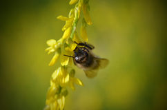 Bee on flower. Working bee on yellow flower stock images
