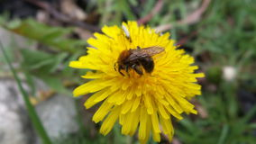 Bee on flower Stock Photography