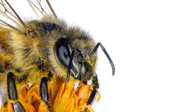 Bee on the flower. Bee on the yellow flower. Close up royalty free stock photo