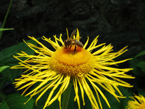 Bee on flower. Bee on yellow flower collects nectar Royalty Free Stock Image