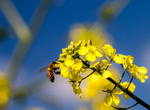 Bee and flower. Bee on a yellow flower collects pollen Royalty Free Stock Images