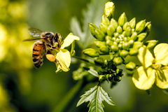 Bee and flower. Bee on a yellow flower collects pollen Stock Photography