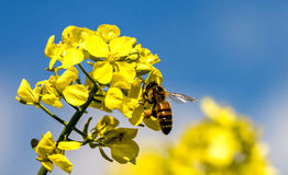 Bee and flower. Bee on a yellow flower collects pollen Stock Image