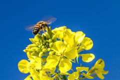 Bee and flower. Bee on a yellow flower collects pollen Royalty Free Stock Photo