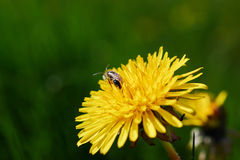 Bee on flower. Bee on yellow flower collects pollen, spring time Stock Photos