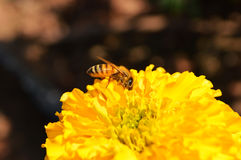 Bee on flower. Yellow macro natural Royalty Free Stock Images