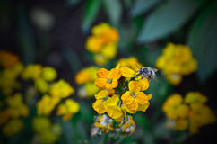 Bee on flower. Bee on yellow flower producing honey Royalty Free Stock Photography
