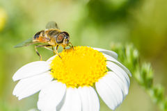 Bee on flower. A bee on a yellow and white flower Royalty Free Stock Photos