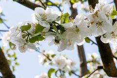 bee on a flowering apple tree stock photo