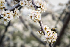 Bee on a flowering apricot tree Stock Photography