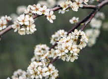 Bee on a flowering apricot tree in the garden Royalty Free Stock Photography