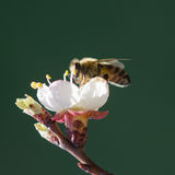Bee on a flowering branch of apricot Stock Photography