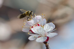 Bee on a flowering branch of apricot Stock Images