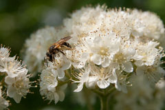 Bee on flowering branches Stock Images