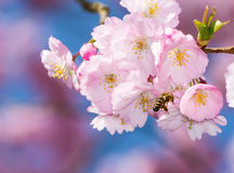 Bee at a Flowering Cherry Tree Stock Images