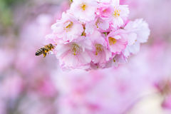 Bee at a Flowering Cherry Tree royalty free stock photo