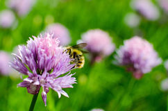 Bee on Flowering Chive. Purple Flowering Chive with a Bee on the Blossom stock photo