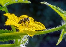 A bee on a flowering cucumber plant. In sunlight. Selective focus Stock Image