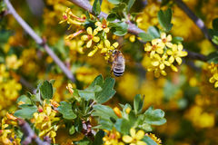 Bee on a flowering currant Royalty Free Stock Images