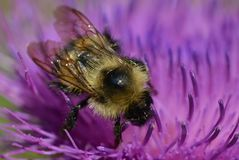 Bee on a flowering thistle Royalty Free Stock Photos