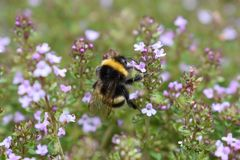 A bee on flowering thyme. A bee gathers pollen on flowering thyme in the spring stock photos