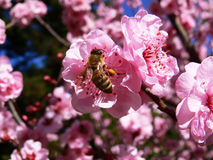 Bee and flowers. A bee collecting pollen from almond blossoms Royalty Free Stock Images
